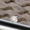 Huismus zit voor zijn nest op de rand van een dakgoot.