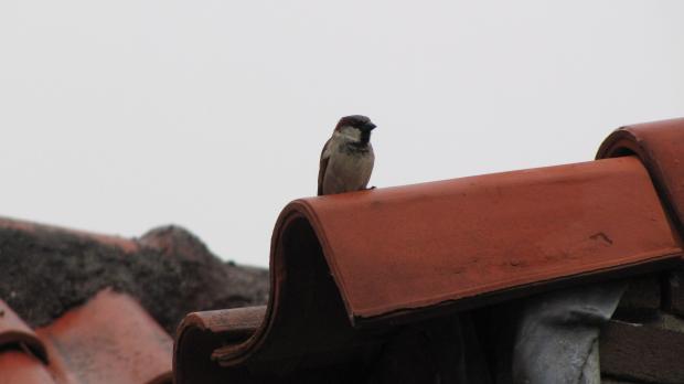 Huismus zit op een dakpan. Onder de dakpan bevindt zich zijn nest.